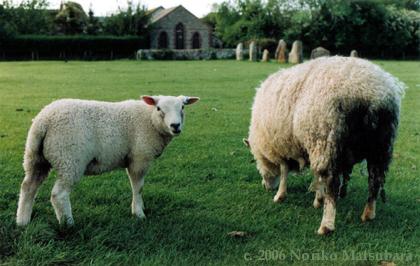 Sheep, C-print photograph by Japanese artist Noriko Matsubara, 2006.